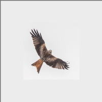 Red Kite Mounted Print  FB_13_MM